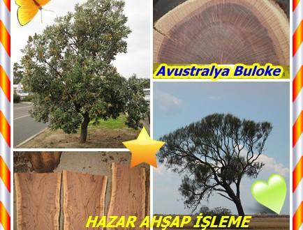 Avustralya Buloke ,(Allocasuarina luehmannii),Avustralya buloke, Avustralya boğa meşe,Bull-meşe, Buloke, Bull Sheoak,Bulloak