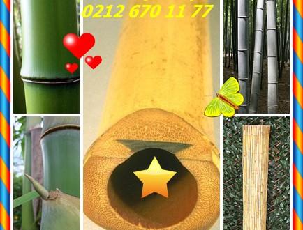 Bambu,(Bambusoideae),