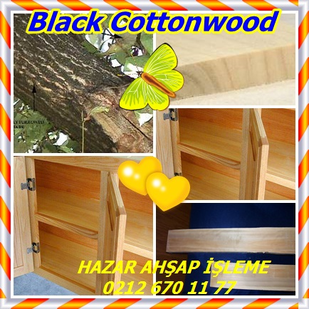 catsBlack Cottonwood, (Populus trichocarpa),Batı kavak22