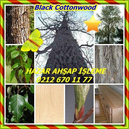 catsBlack Cottonwood, (Populus trichocarpa),Batı kavak2332
