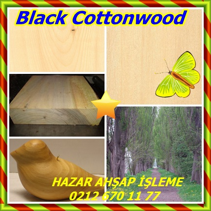 catsBlack Cottonwood, (Populus trichocarpa),Batı kavak32