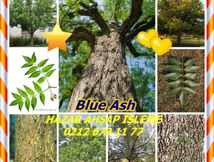 Blue Ash,(Fraxinus quadrangulata),Mavi Dişbudak,Four-angled Ash