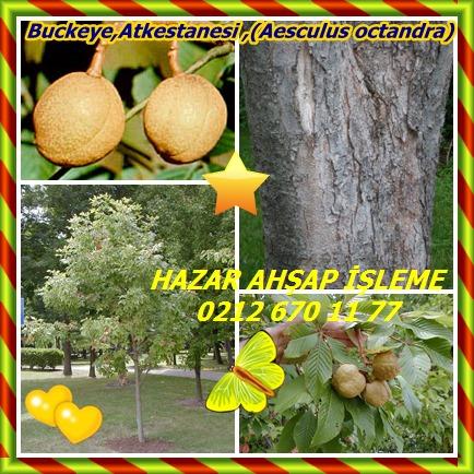 catsBuckeye,Atkestanesi ,(Aesculus octandra)