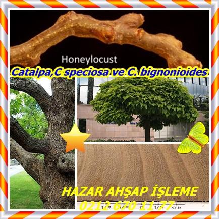 catsC speciosa ve C. bignonioides22