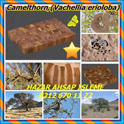 catsCamelthorn,(Vachellia erioloba)4