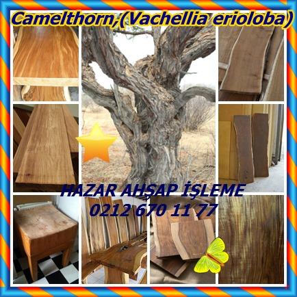 catsCamelthorn,(Vachellia erioloba)66