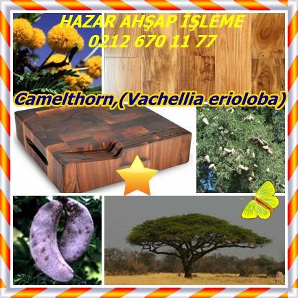 catsCamelthorn,(Vachellia erioloba)7
