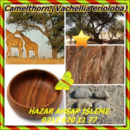 catsCamelthorn,(Vachellia erioloba)8