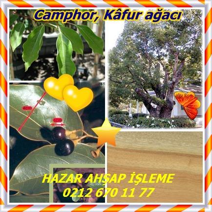 catsCamphor, Kâfur ağacı7