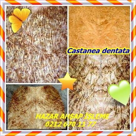 catsCastanea 33dentata