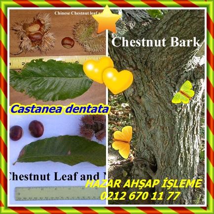 catsCastanea dentata