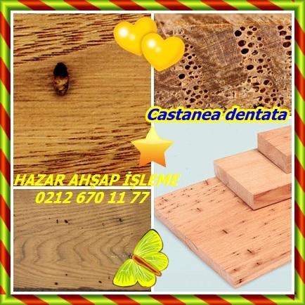 catsCastanea dentata23