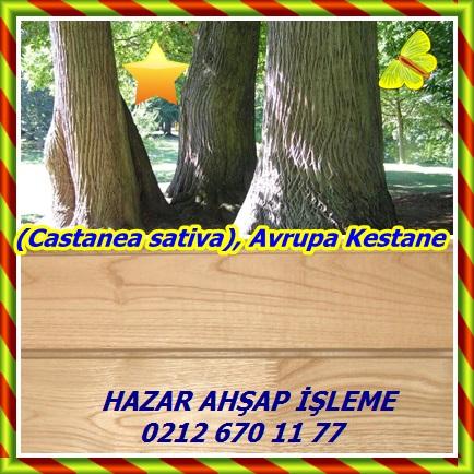 cats(Castanea sativa), Avrupa Kestane3444