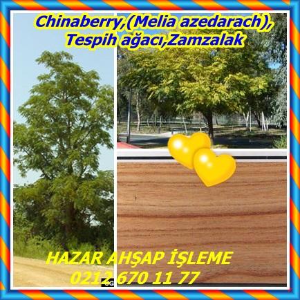 catsChinaberry,(Melia azedarach),Tespih ağacı,Zamzalak343