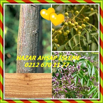 catsChinaberry,(Melia azedarach),Tespih ağacı,Zamzalak543