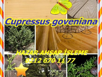 Gowen Cypress , (Cupressus goveniana),Gowen selvi,Gowen Cypress, North Coast Cypress, Mendocino Cypress, Cüce Selvi, Cüce Cypress, Santa Cruz Cypress