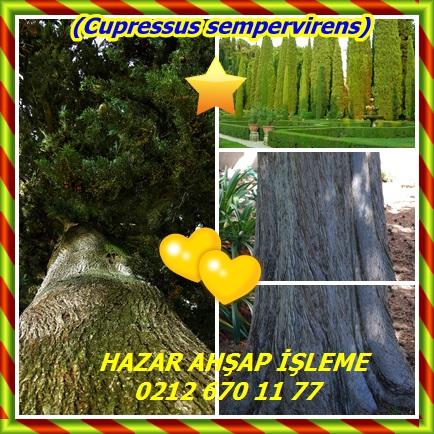cats(Cupressus sempervirens)33