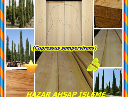 Mediterranen Cypress,(Cupressus sempervirens),Akdeniz Cypress, İtalyan Cypress