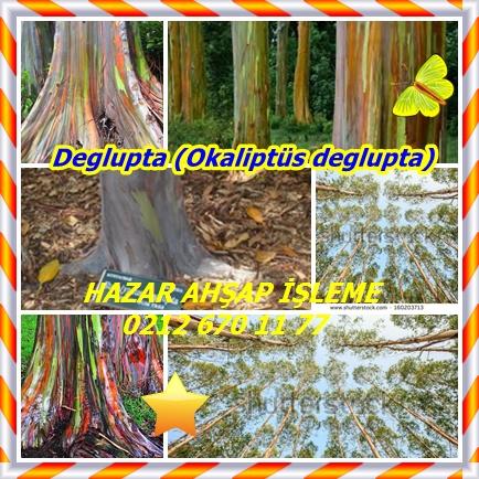 catsDeglupta (Okaliptüs deglupta)