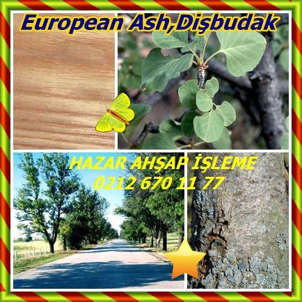 catsEuropean Ash,Dişbudak,12