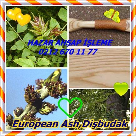 catsEuropean Ash,Dişbudak,65