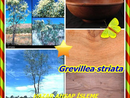 Beefwood,(Grevillea striata),Gümüş Hanımeli,Sığır Meşe,Batı Beefwood , sığır İpeksi Oak ve Simli Hanımeli .