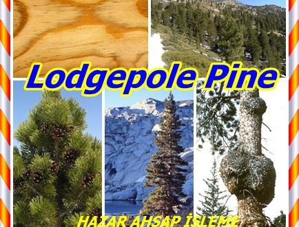 Lodgepole Pine,Shore Çam, (Pinus contorta),Lodgepole Çam, Shore Çam,kıyı çam, sahil çamı, ya da plaj çam,plaj, batı bodur, kuzey sahil bodur, kum, kıyı ya da çetrefilli çam