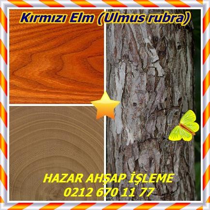 catsKırmızı Elm (Ulmus rubra)
