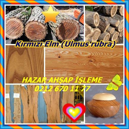 catsKırmızı Elm (Ulmus rubra)544