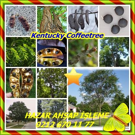 catsKentucky Coffeetree,(Gymnocladus dioicus)33