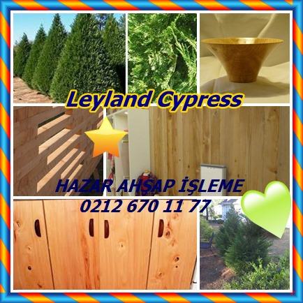 catsLeyland Cypressı
