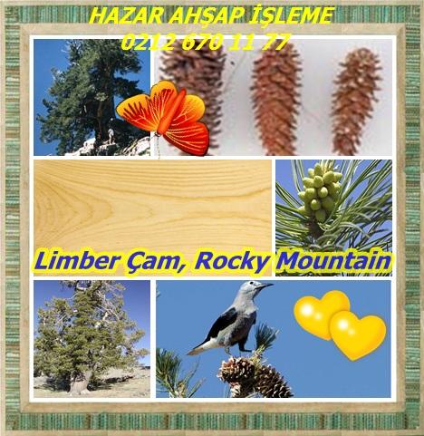 catsLimber Çam, Rocky Mountain