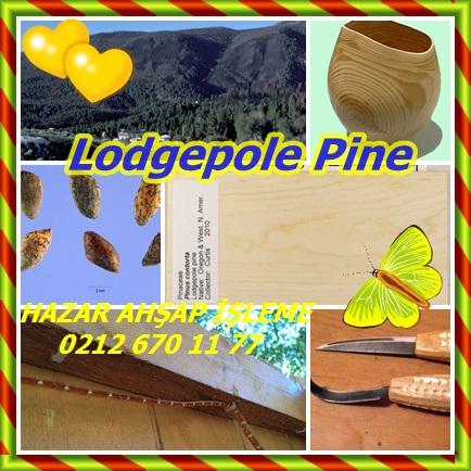 catsLodgepole Pine