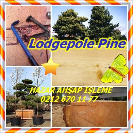 catsLodgepole Pineee