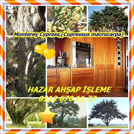 catsMonterey Cypress,(Cupressus macrocarpa),33