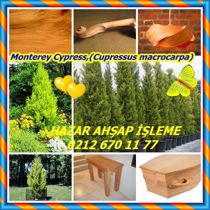 catsMonterey Cypress,(Cupressus macrocarpa)444