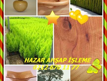 Monterey Cypress,(Cupressus macrocarpa),Monterey selvi, Monterrey,Cipres de California, Cipres Monterrey,Limon Çamı,Limon Selvi,Limoni Selvi