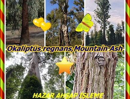 Mountain Ash, Victorian Ash,Üvez ağacı,(Okaliptüs regnans)