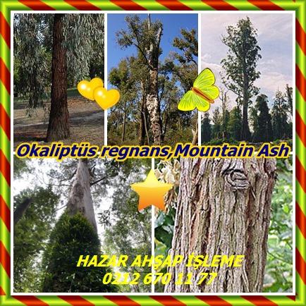 catsOkaliptüs regnans,Mountain Ash