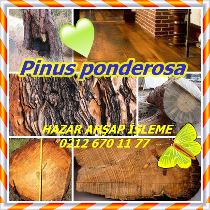 catsPinus ponderosa