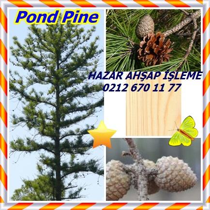 catsPond Pine