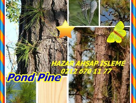 Pond Pine,Gölet Çam, (Pinus serotina),Alabamanmänty, pim sérotineux, pim tardif,Pond Pine,Pinus serotina,Pond Çam, Marsh Çam,Gölet Çam,KumÇam,gölet çam ,bataklık çam ,pocosin çam, Gölet Çam,KumÇam (Pinus serotina)Pond Çam, Marsh Çam