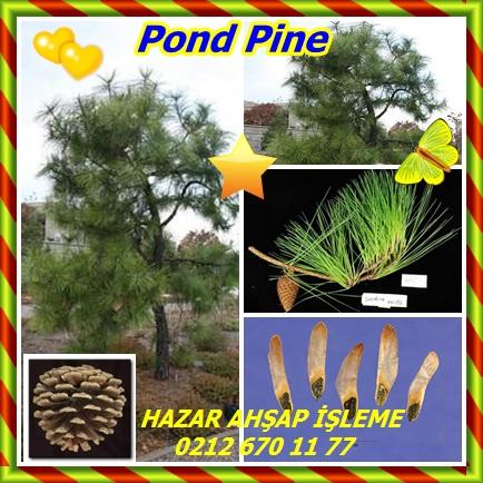catsPond Pine222