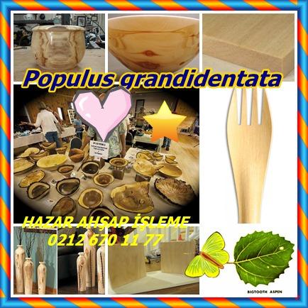 catsPopulus grandidentata5 - Kopya
