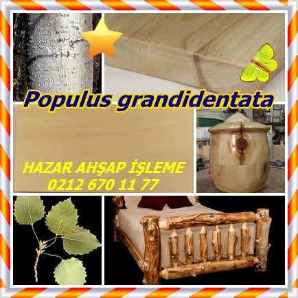 catsPopulus grandidentata88 - Kopya