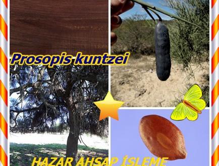 Itin,Caranda , (Prosopis kuntzei),Barba de Tigre, Caraudá, Itin, ITIN, jacaranda, Jacaraudá, Palo Mataco,prosópis