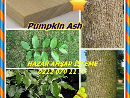 Pumpkin Ash,(Fraxinus profunda),Dişbudak,Kabak Kül