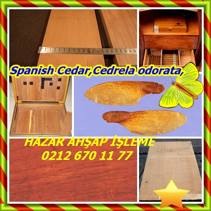 catsSpanish Cedar,Cedrela odorata,22