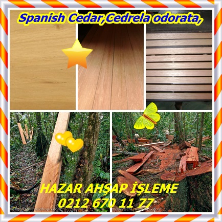 catsSpanish Cedar,Cedrela odorata,6544