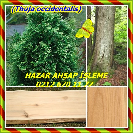 cats(Thuja occidentalis)76654